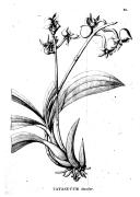 Flora Brasiliensis : enumeratio plantarum in Brasilia hactenus detectarum quas suis aliorumque botanicorum studiis descriptas et methodo naturali digestas partim icone illustratas  C. Martius. 1840-1906