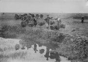 Transport de plants de riz  1930