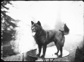 Image from Gallica about Akita inu (race canine)