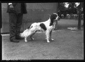 Image from Gallica about Setters (races canines)