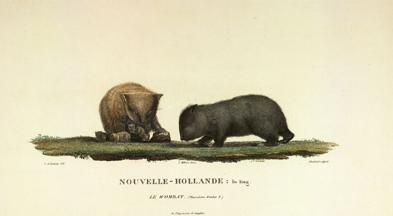 Charles-Alexandre Lesueur (1778-1846) (1)   l expédition Baudin  791734426cc