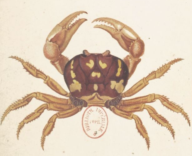 crabe.png