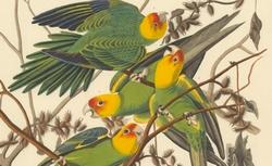 The birds of America, Carolina Parrot, 1828
