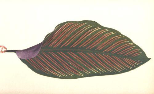 Les plantes à feuillage coloré : recueil des espèces les plus remarquables servant à la décoration