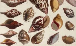 Albertus Seba, Locupletissimi rerum naturalium thesauri accurata descriptio et iconibus…
