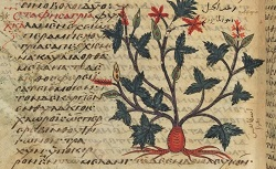 De materia medica, Dioscorides. Grec 2179. 9e siècle
