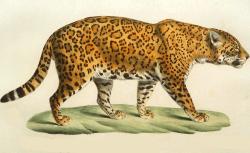 Etienne geoffroy Saint-Hilaire et Frédéric Cuvier, Histoire naturelle des mammifères, tome V, 1824