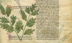 Liber de herbis et plantis... Latin 6823. Début du 14e siècle