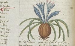 Livre des simples médecines, ou Herboriste, en français, par ordre alphabétique. NAF 6593. 1453