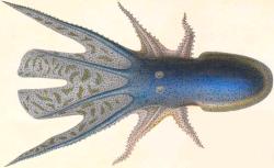 Histoire naturelle générale et particulière des céphalopodes acétabulifères vivants et fossiles