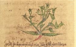 Parties du traité des plantes de Dioscoride. Arabe 2850. 12e siècle