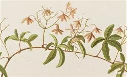 Plantes du portefeuille de M. d'Orcy. FOL-JC-24. 18e siècle