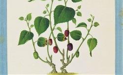 Plantes et arbres qui intéressent l'industrie. Yoeequa painter. 1830-1840
