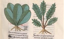 Livre des symples medichines, autrement dit Arboriste, continué selon le A, B, C. Français 9136. 15e siècle