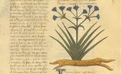 Traité des simples médecines. Arsenal Ms 2888. 15e siècle