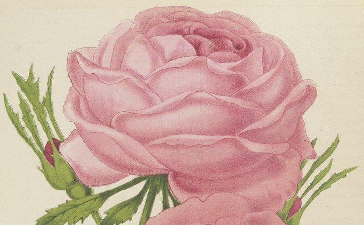 Journal des roses : rosa inter flores, octobre 1886