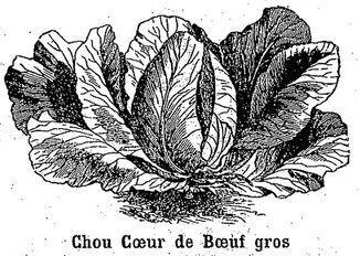 Chou Cœur de bœuf gros. Choux cabus (chou pommé à feuilles lisses). Image publiée à Rodez le 20 octobre 1889 dans le journal: Le Cultivateur de l'Aveyron, du Cantal, du Lot et de la Lozère
