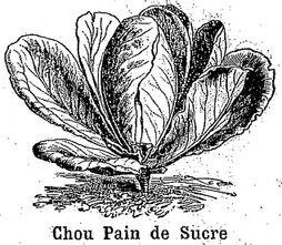 Chou Pain de sucre. Chou cabus (chou pommé à feuilles lisses). Image publiée à Rodez le 20 octobre 1889 dans le journal: Le Cultivateur de l'Aveyron, du Cantal, du Lot et de la Lozère