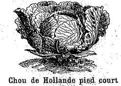 Chou de Hollande pied court. Chou cabus (chou pommé à feuilles lisses). Image publiée à Rodez le 20 octobre 1889 dans le journal: Le Cultivateur de l'Aveyron, du Cantal, du Lot et de la Lozère