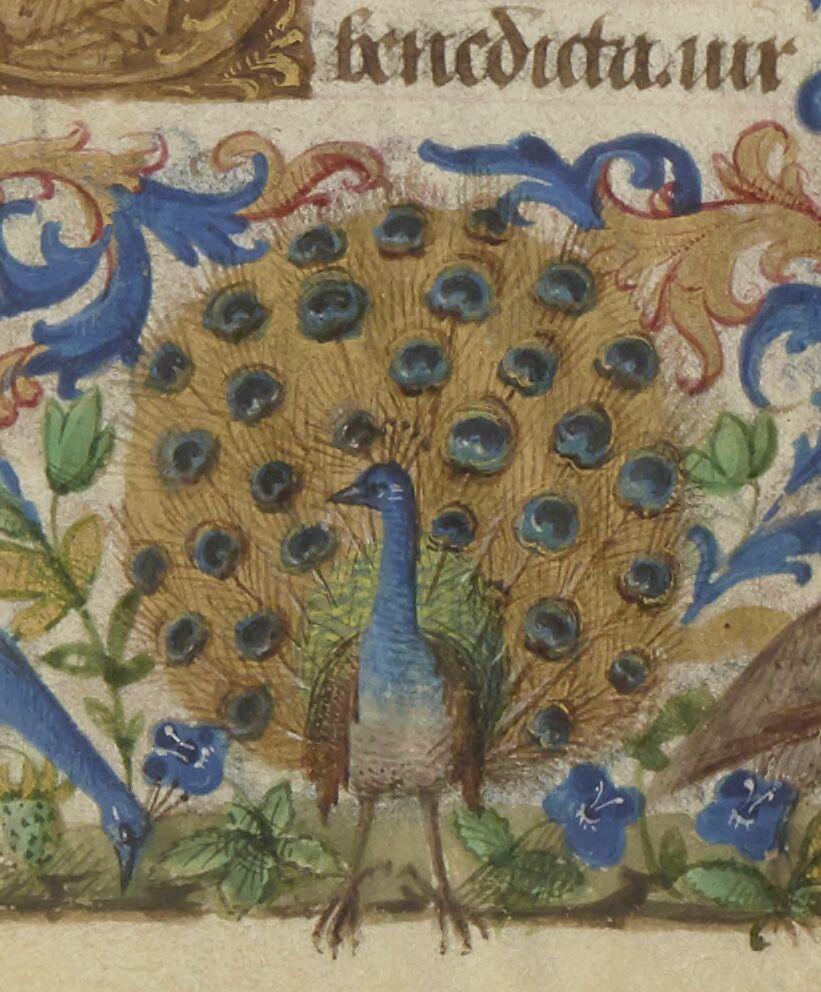 Border Peacock
